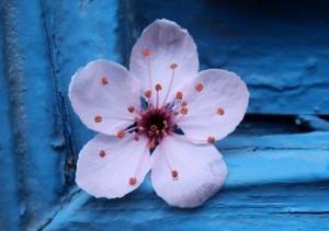 Flor Pentagonal